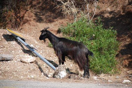 knocked over: A black goat next to a knocked over road sign by the roadside away from the rest of the herd  Stock Photo