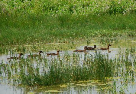 wetland conservation: Six ducks swimming across the waters in a wetland conservation area  Stock Photo