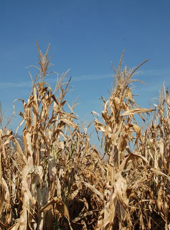 A dried field of corn in the autumn against a clear blue sky  photo