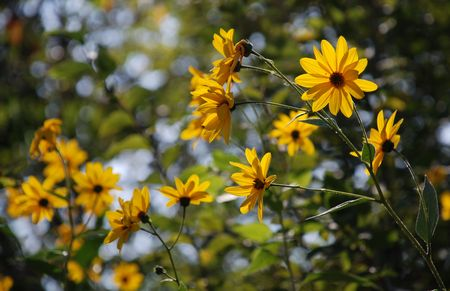 The beautiful yellow flowers of the jerusalem artichoke plant (also known as topinambur or sunchoke), a member of the sunflower family which produced edible tubers