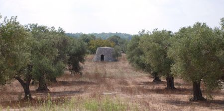 A traditional trullo building in the middle of an orchard of olive trees in Puglia, southern Italy