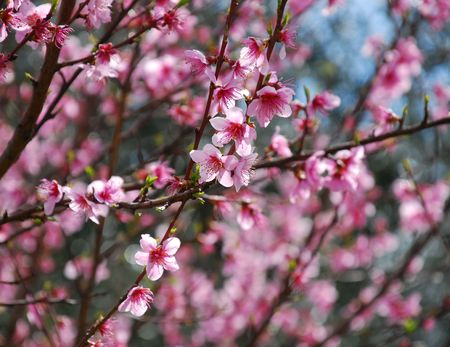 A fruit tree blossoming with small pink flowers in spring stock a fruit tree blossoming with small pink flowers in spring stock photo 3825156 mightylinksfo