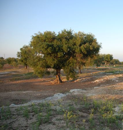 An orchard of olive trees in Puglia, southern Italy