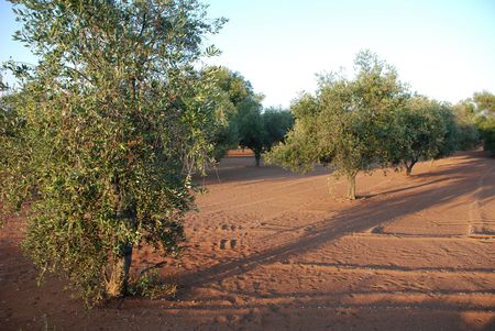 southern europe: An orchard of olive trees in Puglia, southern Italy