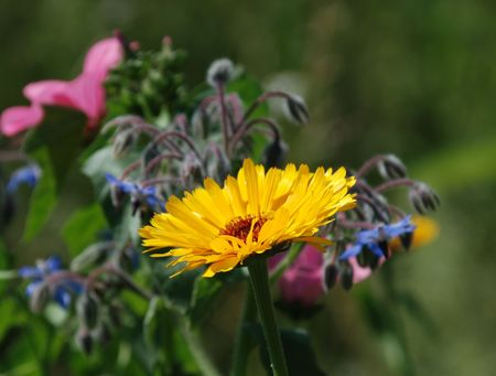 A beautiful edible yellow calendula flower growing in a herb patch. Blurring into the background can ben seen blue borage and pink malva flowers Stock Photo - 3840773