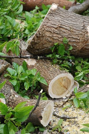 aftermath: The aftermath of the cutting of a large old tree � the ground is littered with branches and sawdust  Stock Photo