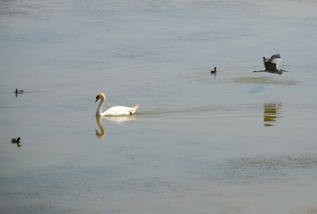 wetland conservation: A swan on the water at a wetland nature conservation park with a heron flying past