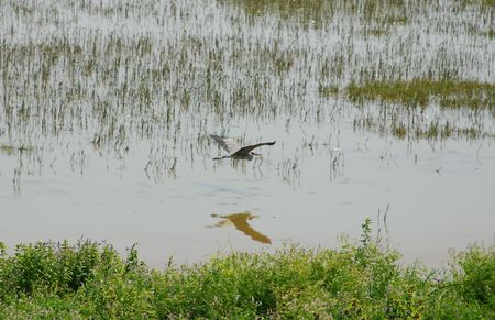 wetland conservation: A heron gracefully flies over water at a wetland nature conservation park