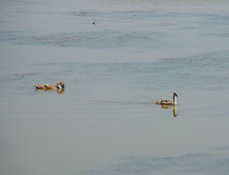 signet: Dos j�venes sello cisnes en las aguas de un humedal sitio de conservaci�n de la naturaleza