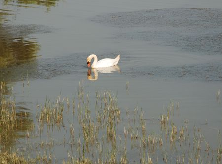 wetland conservation: A swan on the waters of a wetland nature conservation site
