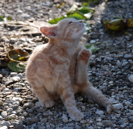 A young ginger kitten scratches himself. His left paw is blurred from the movement