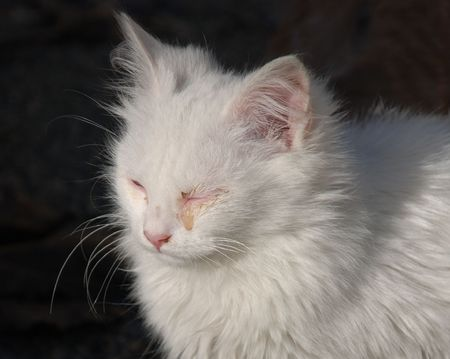 A young white kitten with a seeping eye as a result of an infection