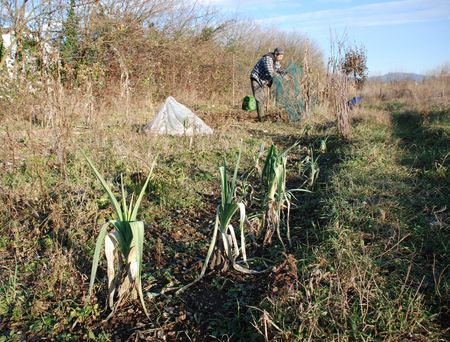 tend: A mid winter field with leeks growing in the foreground and a farmer tending his crops in the background