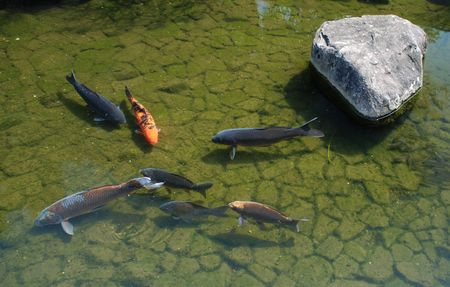 Koi carp in the waters of a shady pond ay Koko-En Gardens in Himeji, Japan  photo