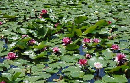 waters: A water lilly in the waters of a pond in Heian-Jing Shrine Gardens in Kyoto  Stock Photo