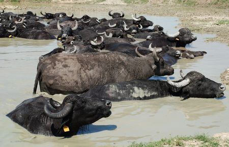 wallowing: Water buffalo wallow in a pool of mud at a buffalo reserve in Hungary