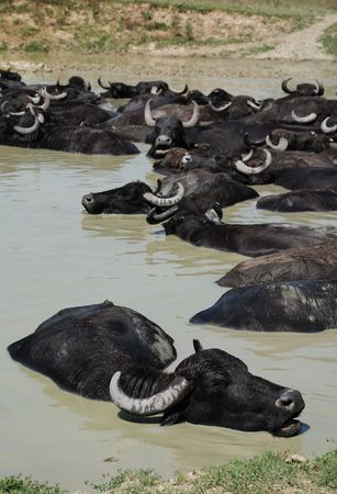 immersed: Water buffalo graze on grass at a buffalo reserve in Hungary  Stock Photo