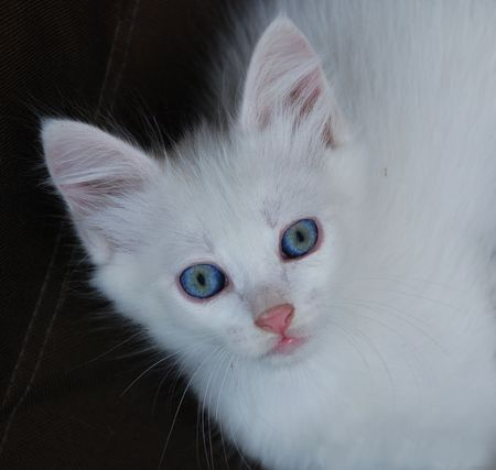 whose: A seven week old white kitten whose eyes are starting to change colour from blue to brown. This normally happens between six and eight week of age.  Stock Photo