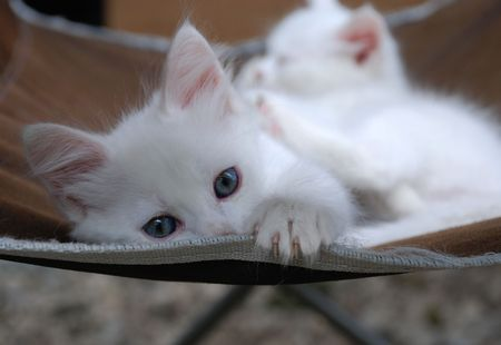 The beautiful eyes of a seven week old white kitten on a brown chair. Another kitten from the same litter can be seen sleeping peacefully in the background  Stock Photo - 5528110