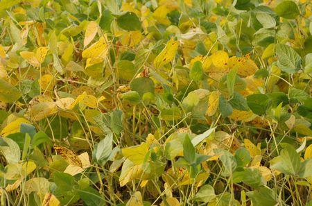 soya bean: Un campo de plantas de haba de soja se seca y se convierte en color marr�n en el oto�o. Estar�n listos para la cosecha en el invierno, una vez que est�n completamente secos. Foto de archivo