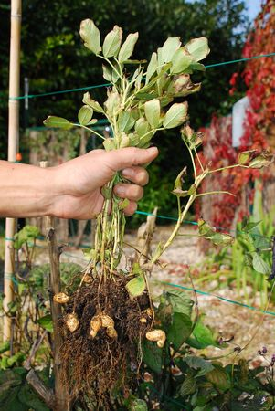 A farmer holds a peanut plant which he he just dug out of the ground. Peanut husks can be seen amongst the roots of the plant.  photo