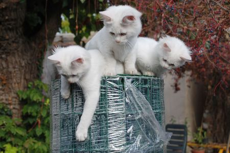 Three 14 week old playful kittens on top of a large roll of green wire garden fencing