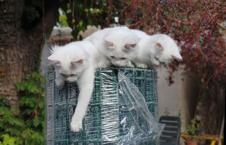 fencing wire: Three 14 week old playful kittens on top of a large roll of green wire garden fencing