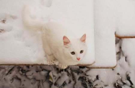 five month old: A five month old kitten on a snow covered garden table. The kittens paw prints can be seen on the table behind in the snow  Stock Photo