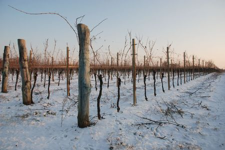 Empty grape vines in Friuli, north east Italy, during the winter snow. The photograph was taken in the low winter late afternoon sun Stock Photo