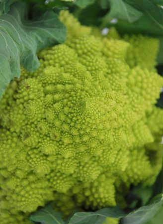 logarithmic: A green organic Brassica Oleracea, a variant form of cauliflower commonly called Romaneco Cauliflower which is also known as Romanesco Broccoli.