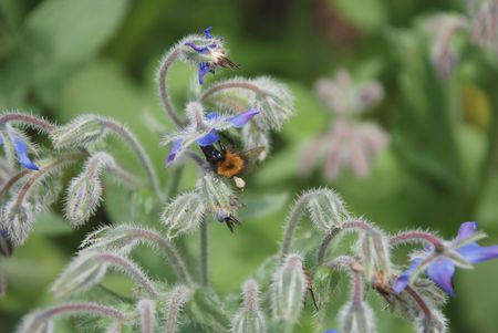 A bee with a pollen sack on its leg investigates a borage flower