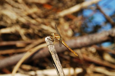 anisoptera: A dragonfly resting on the twig of a tree Stock Photo