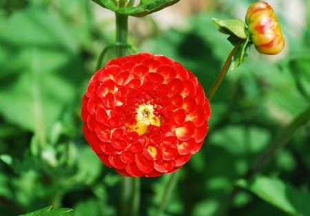 pompom: Nascita, una variet� di PomPom Dahlia
