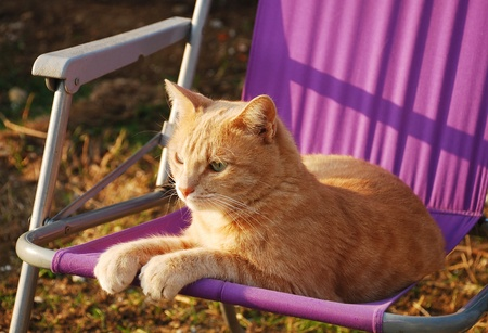 tom: A two year old ginger tabby tom cat sitting on a purple fabric garden chair in the later afternoon sun  Stock Photo