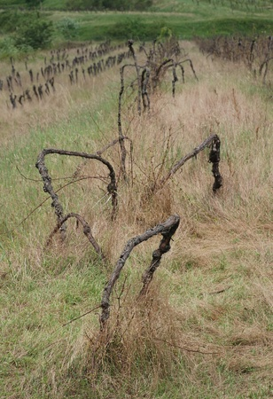 Grape vines which have been left to die in a field in Friuli, north east Italy