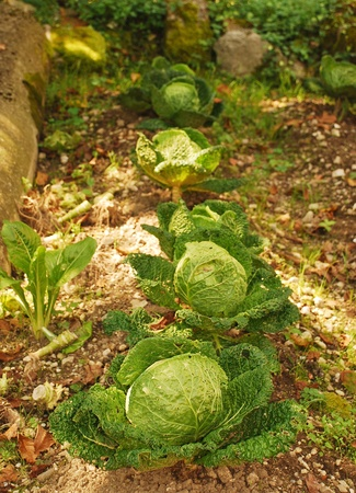 dappled: A row of cabbages in dappled sunlight in an Italian vegetable garden or orto