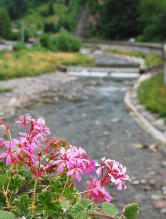 flowing river: Geranios rosados ??con un r�o que fluye en el fondo Foto de archivo