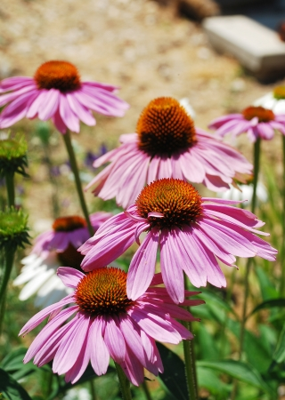 coneflowers: Echinacea Purpurea flowers, also known as Coneflowers an herbaceous flowering perennial plant from the Asteraceae daisy family