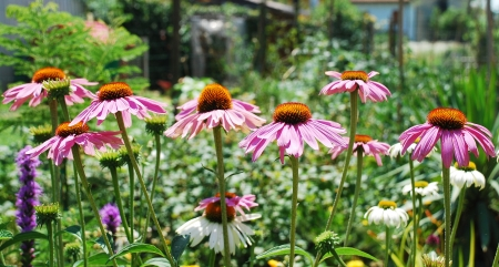 coneflowers: Echinacea Purpurea flowers, also known as Coneflowers � an herbaceous flowering perennial plant from the Asteraceae daisy family