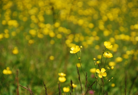 uncultivated: An uncultivated field of wild buttercups on a northern Italian mountain
