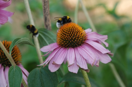 Echinacea Purpurea flowers, also known as Coneflowers � herbaceous flowering perennial plants from the Asteraceae daisy family   A bumble bee can be seen on the foreground flower along with another one flying away from it photo