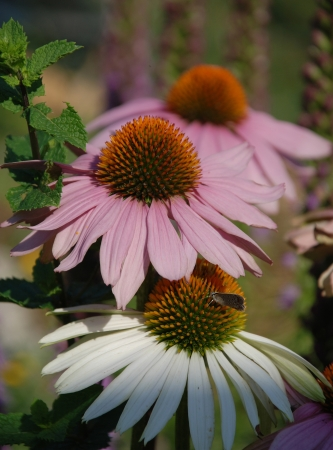 coneflowers: Echinacea Purpurea flowers, also known as Coneflowers an herbaceous flowering perennial plant from the Asteraceae daisy family. The focus is on the White Swan variety flower in the foreground with the small butterfly on it  Stock Photo