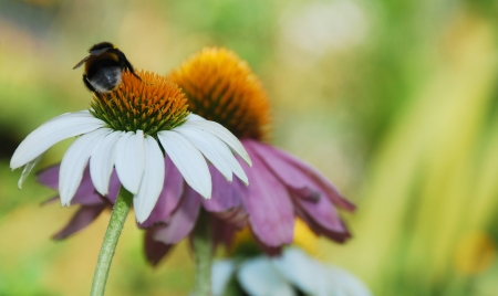 coneflowers: Echinacea Purpurea flowers, also known as Coneflowers  an herbaceous flowering perennial plant from the Asteraceae daisy family  The focus is on the White Swan variety flower in the foreground with the bumble bee on it