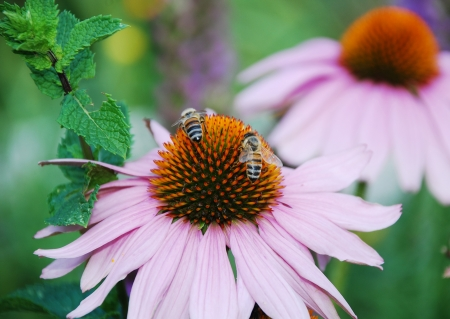 coneflowers: Echinacea Purpurea flowers, also known as Coneflowers � herbaceous flowering perennial plants from the Asteraceae daisy family   Bees can be seen on the flowers