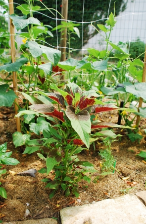 amaranthus: An Amaranthus Tricolor plant growing in a garden, a variety of amaranth which is eaten as a leaf vegetable and is also known as Callaloo or Joseph Stock Photo