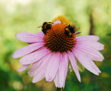 coneflowers: An Echinacea Purpurea flower, also known as Coneflowers � herbaceous flowering perennial plants from the Asteraceae daisy family   Bumble bees can be seen on the flower Stock Photo