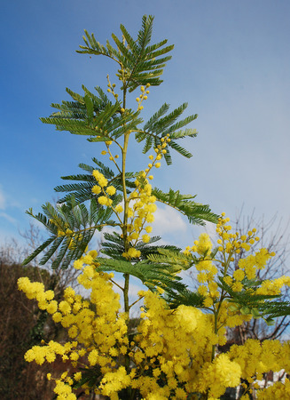 wattle: The yellow flowers of the Mimosa, also known as Acacia Dealbata, Silver Wattle and Blue Wattle - an evergreen tree or shrub which produces early spring flowers Stock Photo