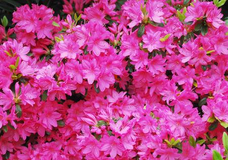 Pink flowers on a azalea bush photo