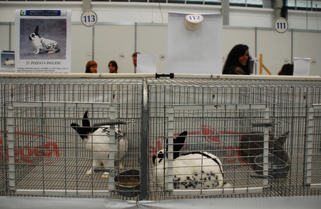 piebald: Gorizia, Italy - April 5th 2014. Rabbits on display and sale at the annual Pollice Verde gardening exhibition. These are English Piebald Rabbits