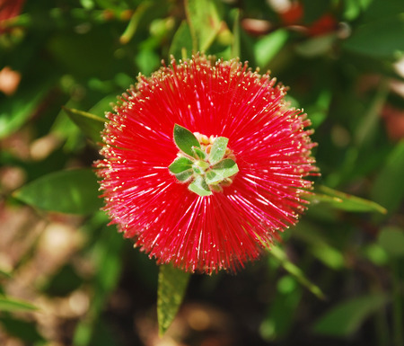 callistemon citrinus: A Callistemon Citrinus, also known as a Bottlebrush Flower, a shrub species from the Myrtaceae family.